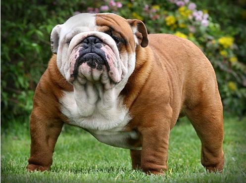Умышленное вырождение пород собак Image